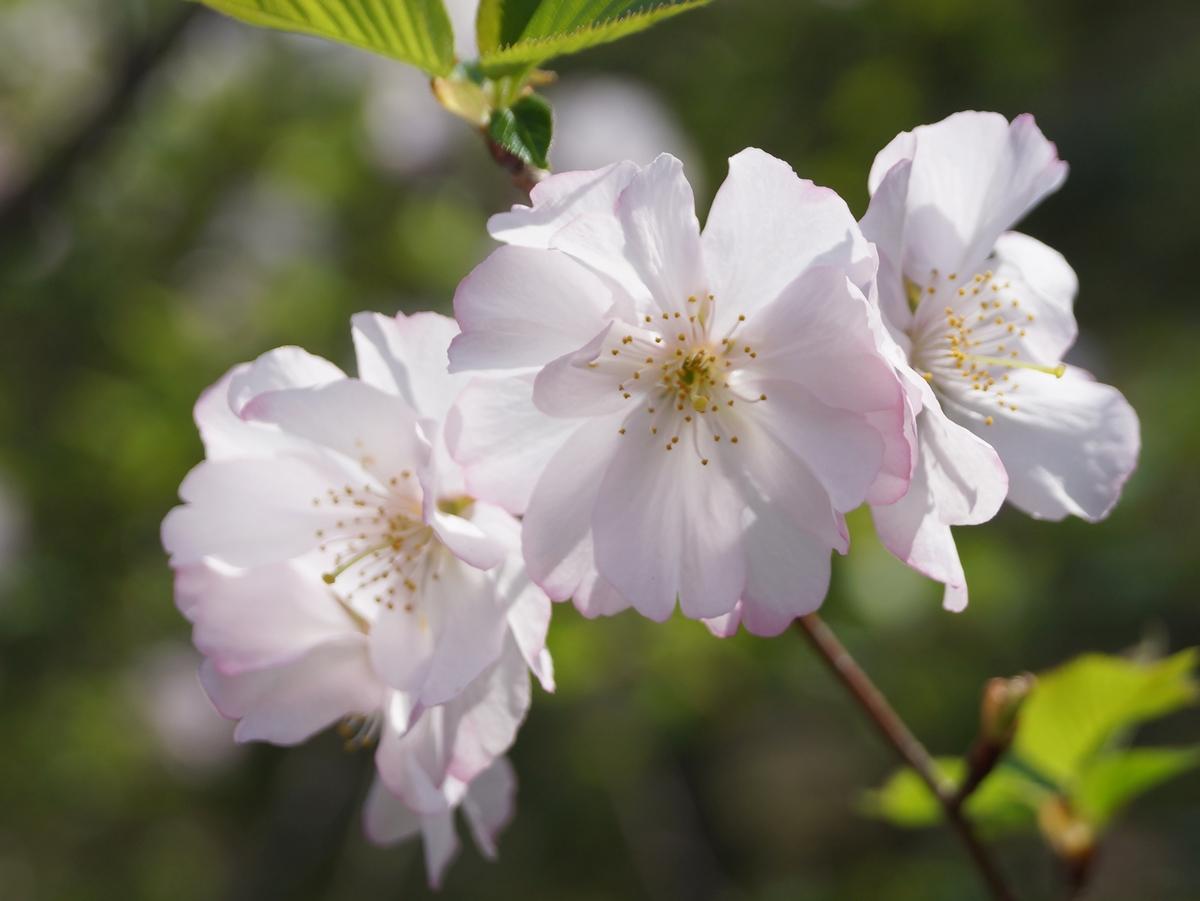 アーコレード(桜)