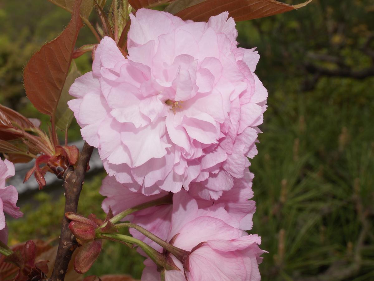 八重桜「妹背桜」