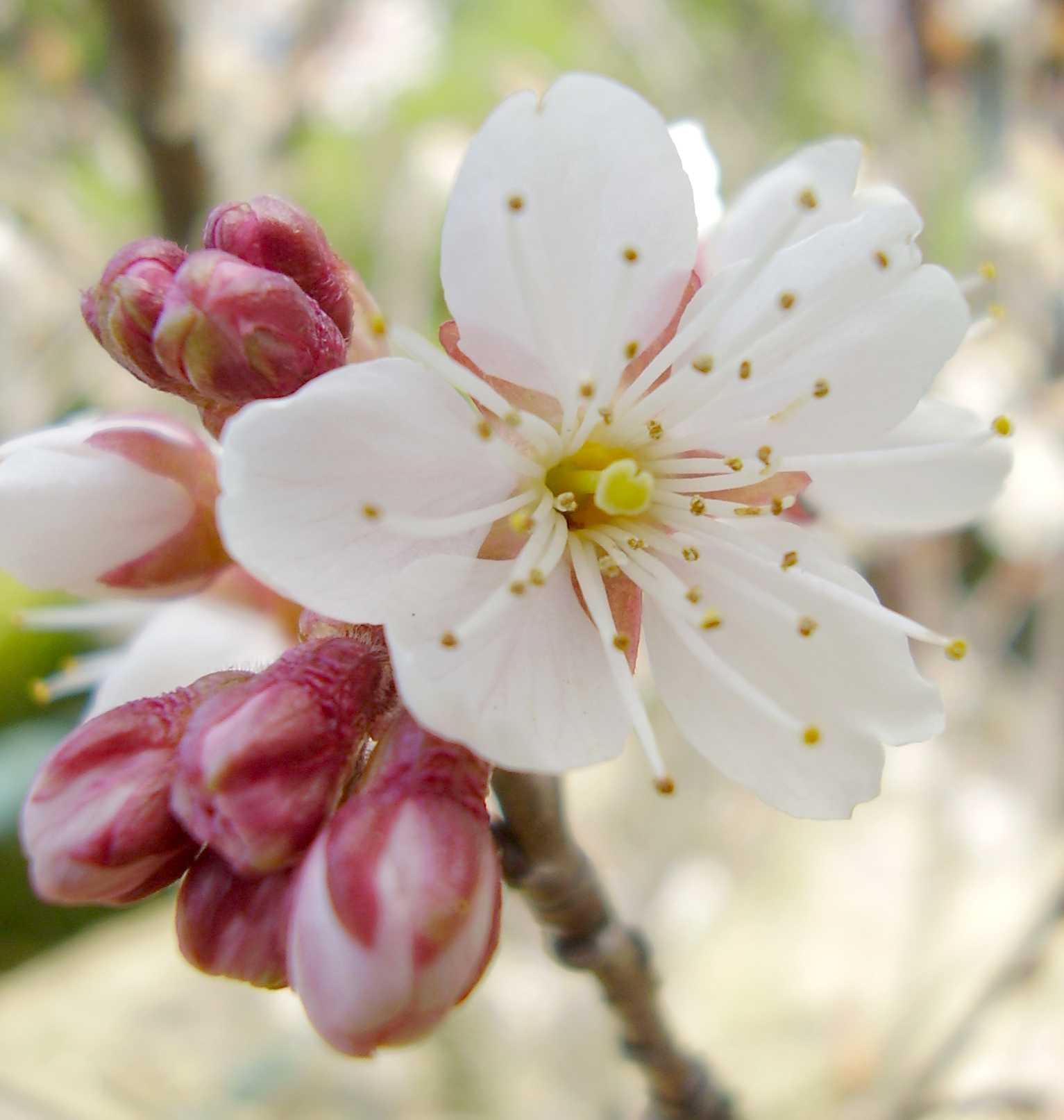 桜 サクランボの花