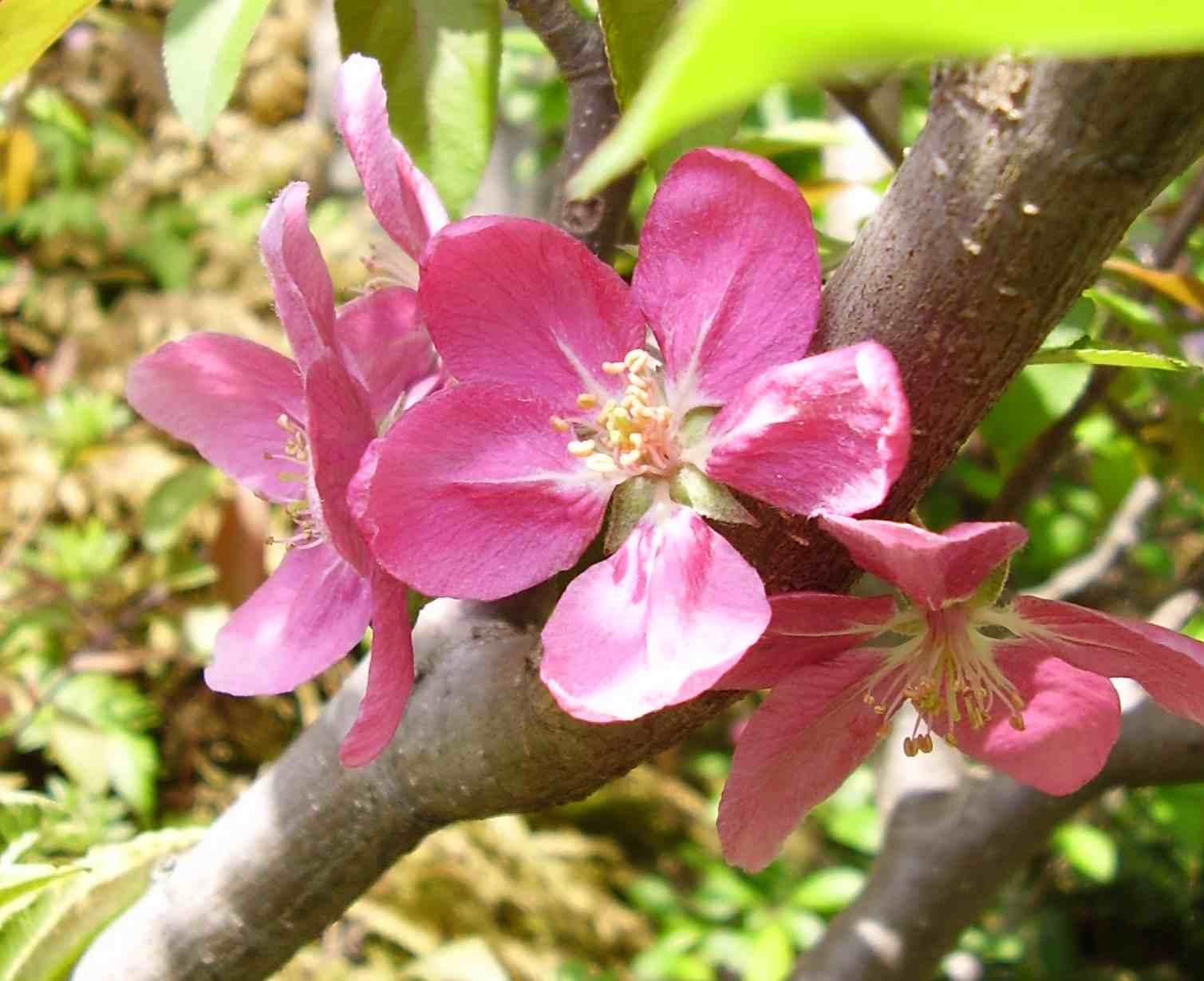 ハナリンゴ 野生種