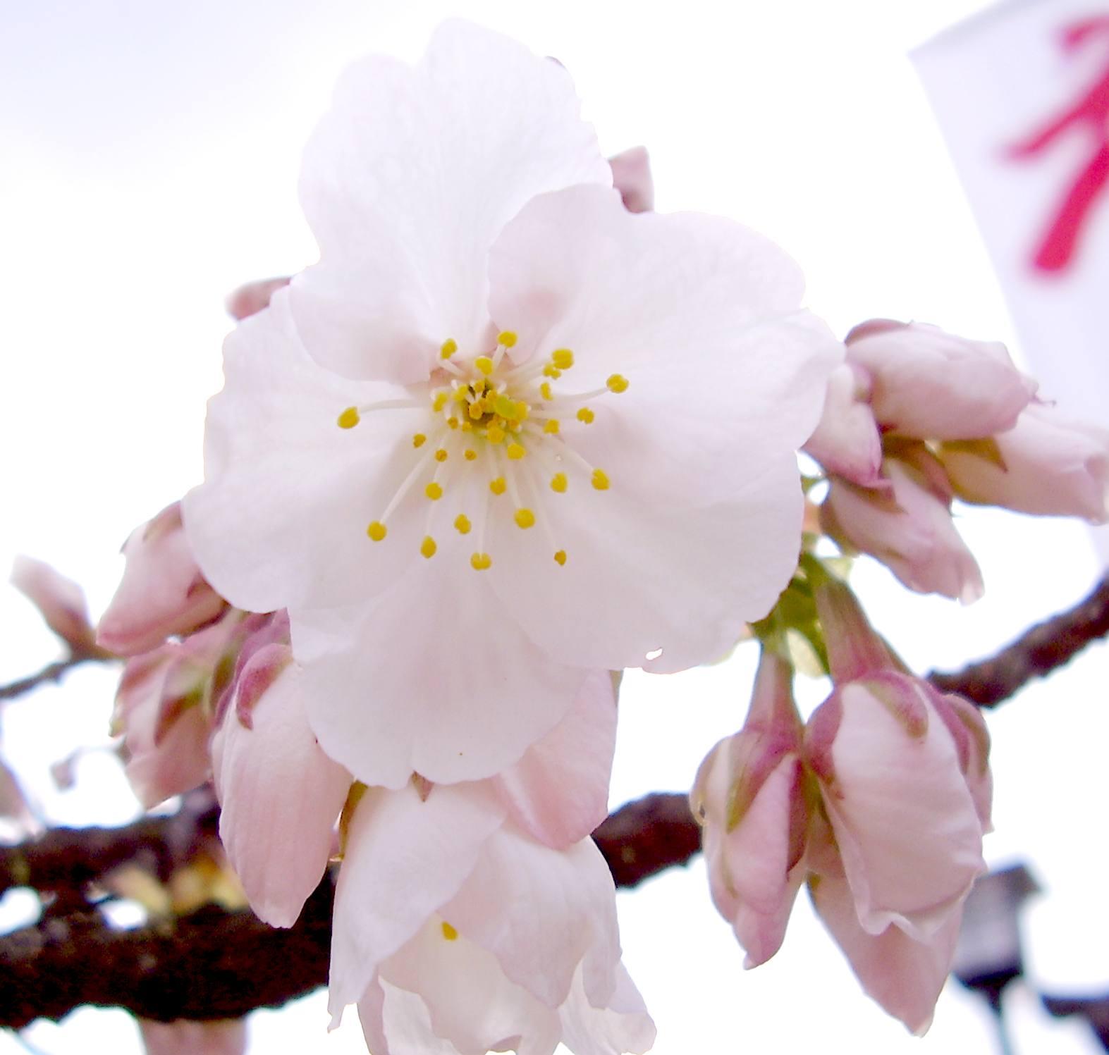 地主神社 地主桜