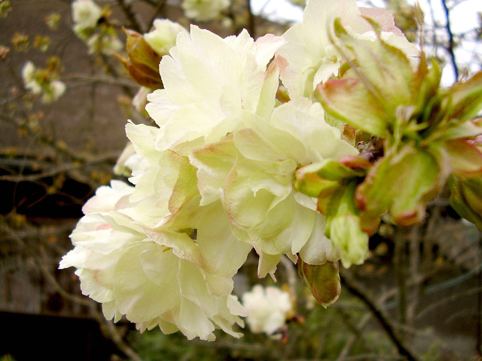 黄桜(鬱金の桜)ウコンザクラ