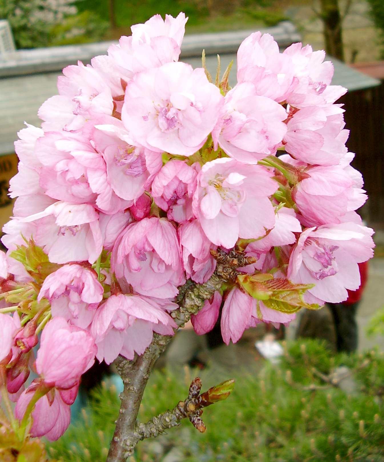 御室桜系八重桜