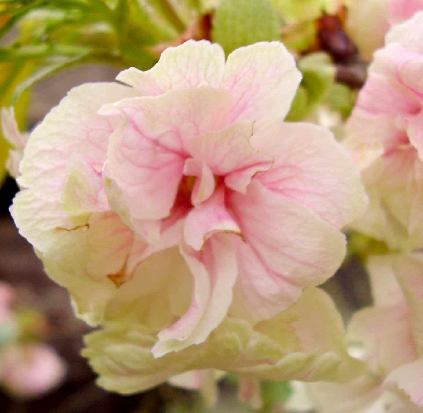 鬱金桜(ウコンザクラ)
