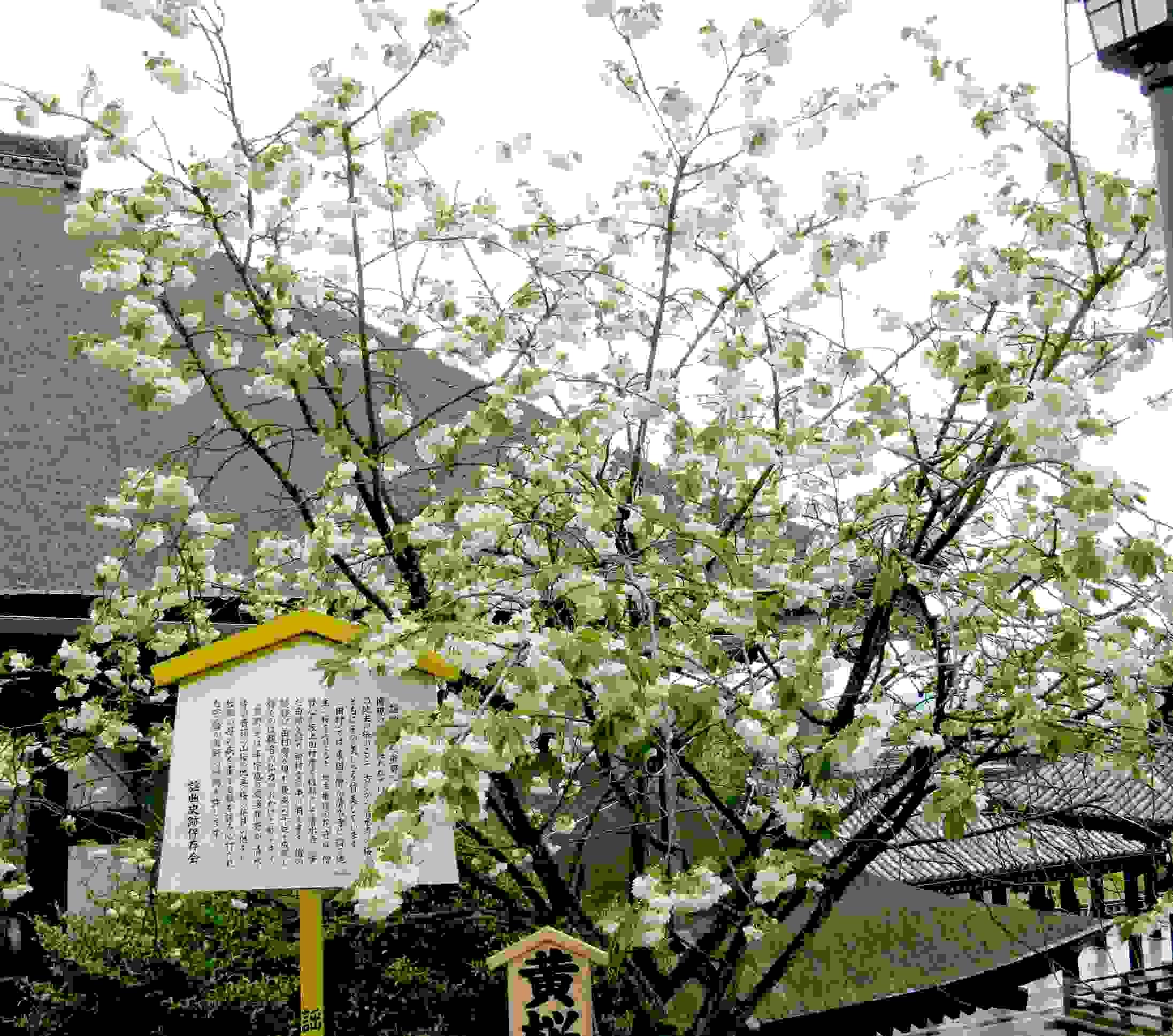 黄桜(鬱金の桜)