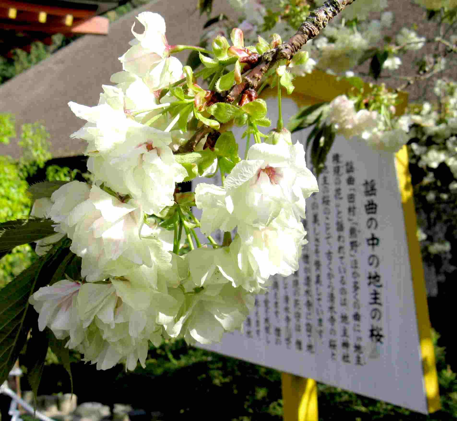 黄桜(ウコンザクラ)