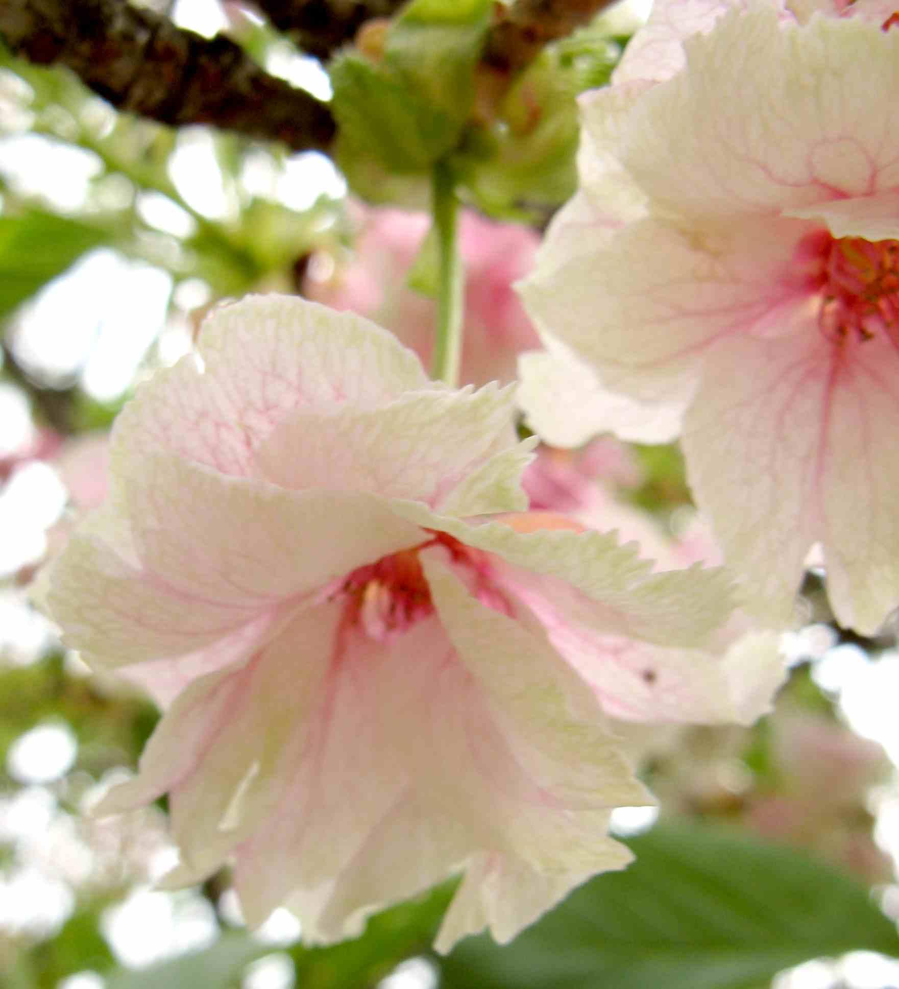 黄桜 (鬱金の桜)
