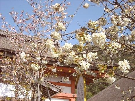 地主神社「黄桜」「地主桜」