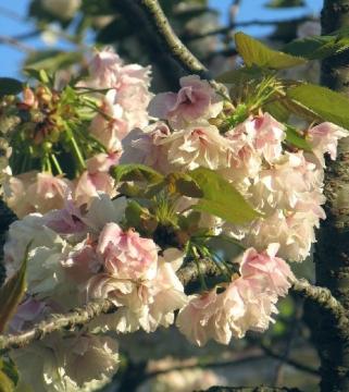 黄桜(鬱金桜)