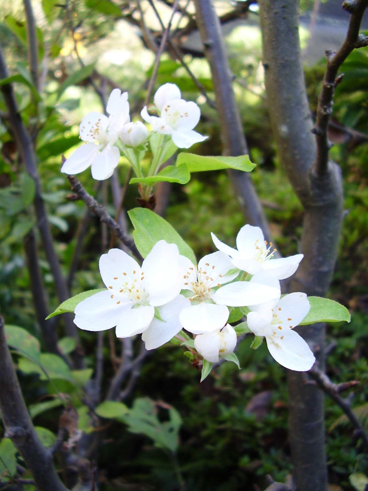 しろく可愛らしい花「ヒメリンゴ」