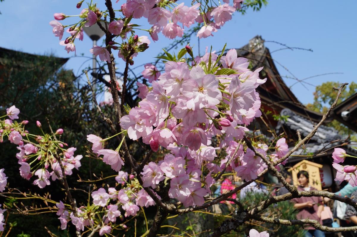 八重桜「旭山」
