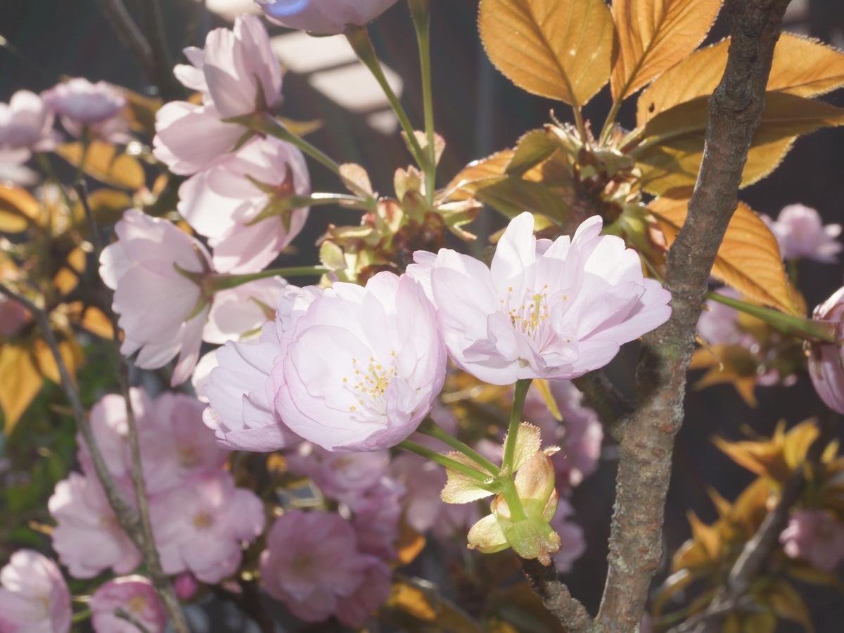 八重桜「松月」
