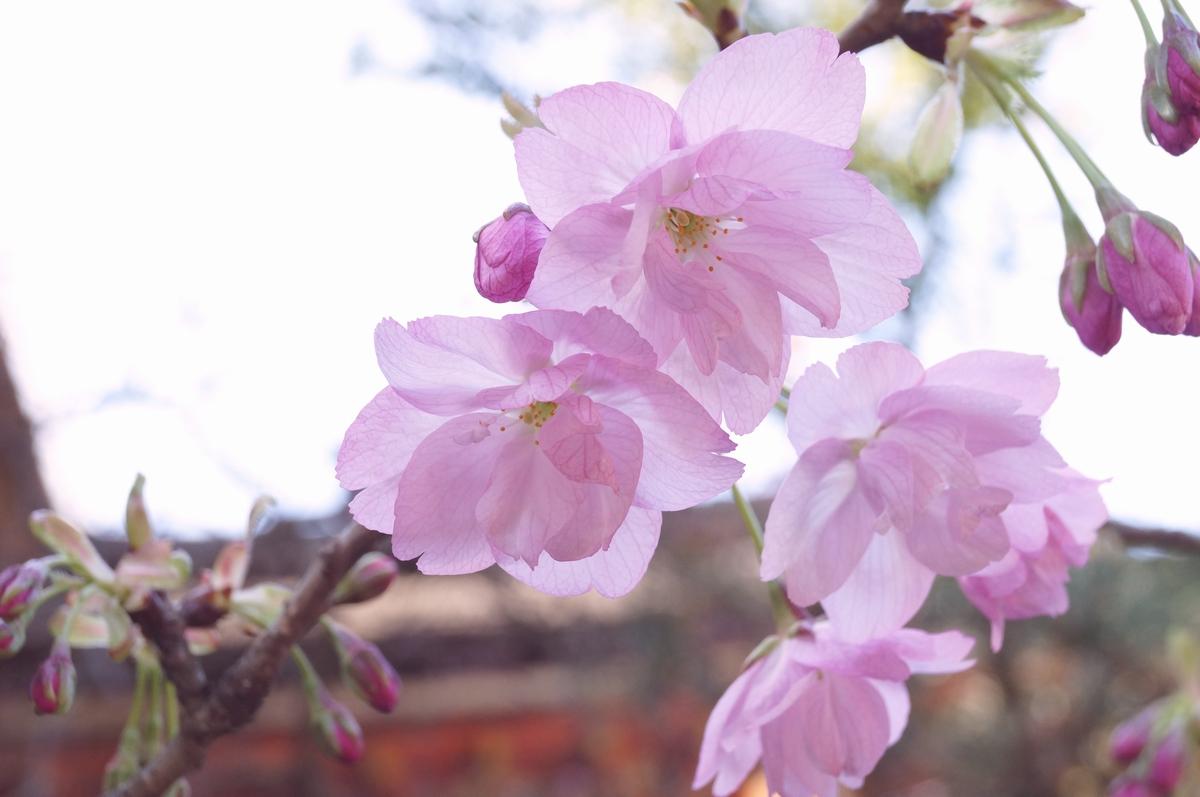 朝日山(八重桜)