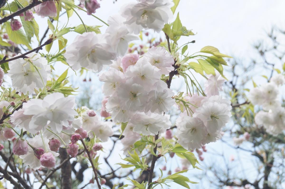 松月(八重桜)